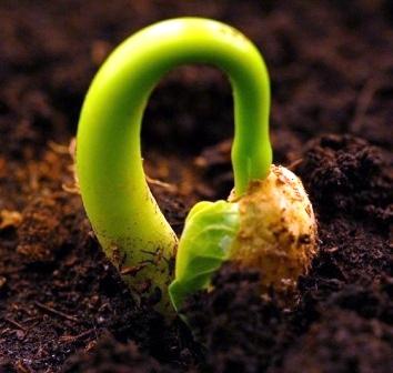 anzucht aus samen vermehrung pflege von zimmerpflanzen. Black Bedroom Furniture Sets. Home Design Ideas