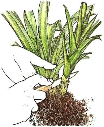vegetative vermehrung pflege von zimmerpflanzen. Black Bedroom Furniture Sets. Home Design Ideas