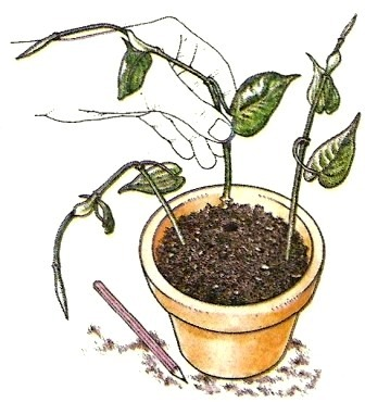 vegetative vermehrung pflege von zimmerpflanzen zimmerpflanzen zimmer und gartenblumen. Black Bedroom Furniture Sets. Home Design Ideas