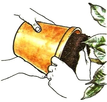 einpflanzen und umtopfen pflege von zimmerpflanzen zimmerpflanzen zimmer und gartenblumen. Black Bedroom Furniture Sets. Home Design Ideas