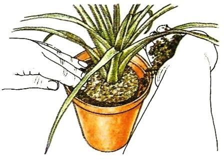 einpflanzen und umtopfen pflege von zimmerpflanzen. Black Bedroom Furniture Sets. Home Design Ideas