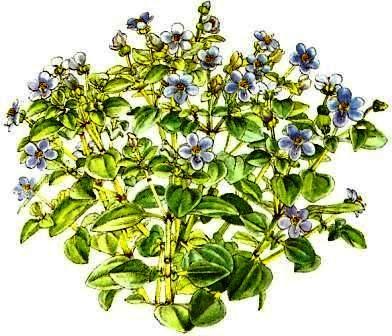 exacum blaues lieschen zimmerblumen. Black Bedroom Furniture Sets. Home Design Ideas