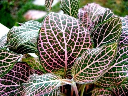 Palisanderbaum im regenwald  Fittonia • --- - Zimmerblumen