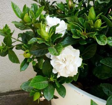 gardenia gardenie zimmerblumen. Black Bedroom Furniture Sets. Home Design Ideas