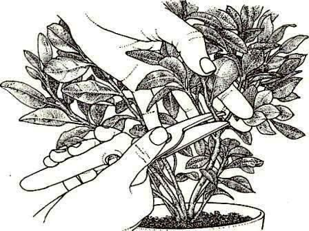 Gardenia Gardenie Zimmerblumen