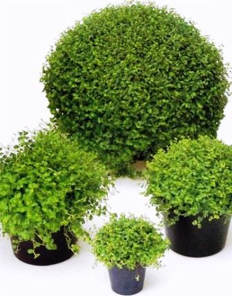 Helxine bubik pfchen zimmerblumen - Zimmerpflanzen sonniger standort ...