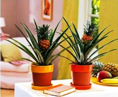 ananas ananas zimmerblumen. Black Bedroom Furniture Sets. Home Design Ideas