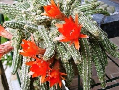 gepfropfter kaktus pflege