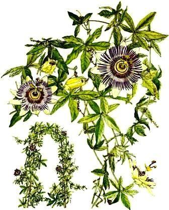 passiflora passionsblume zimmerblumen. Black Bedroom Furniture Sets. Home Design Ideas