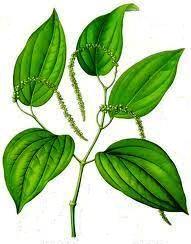 Piper nigrum schwarzer pfeffer piper crocatum zimmerblumen - Pfeffer zimmerpflanze ...