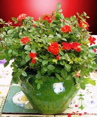 Бенгальская роза уход в домашних условиях