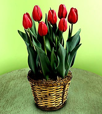 tulipa tulpe zimmerblumen. Black Bedroom Furniture Sets. Home Design Ideas