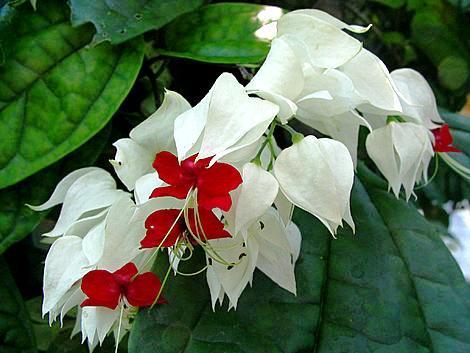 Clerodendrum losbaum zimmerblumen - Zimmerpflanze rankend ...