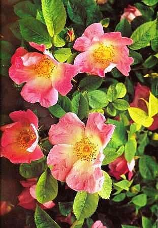 Rose gartenblume geh lz blume rosa kletterrosen bl ten rot for Zimmer pflanzenversand