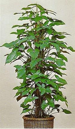 Syngonium purpurtute zimmerblumen - Kletterpflanzen zimmer ...