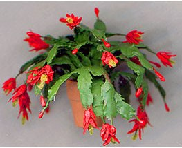 Schlumbergera Zygocactus Truncatus Weihnachtskaktus Zimmerblumen
