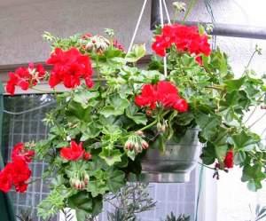 einf hrung zimmerblumen zimmerpflanzen geranien. Black Bedroom Furniture Sets. Home Design Ideas