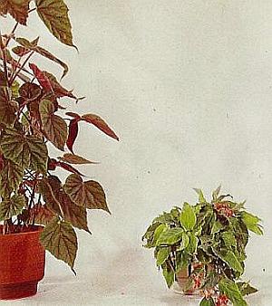 begonia punctata punktierte begonie zimmerblumen. Black Bedroom Furniture Sets. Home Design Ideas