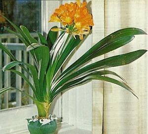Clivia riemenblatt zimmerblumen - Zimmerpflanzen arten ...