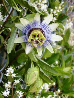 Passiflora passionsblume zimmerblumen - Kletterpflanzen zimmer ...