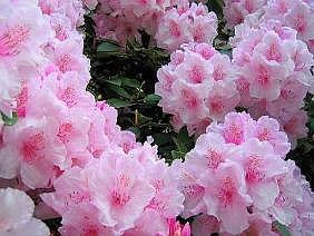 rhododendron azalea alpenrose azalee zimmerblumen. Black Bedroom Furniture Sets. Home Design Ideas