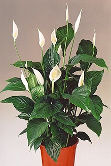 spathiphyllum blattfahne scheidenblatt zimmerblumen. Black Bedroom Furniture Sets. Home Design Ideas