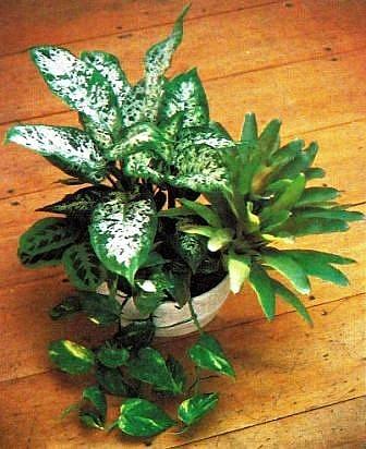 Zimmer und gartenblumen - Rankende zimmerpflanzen ...