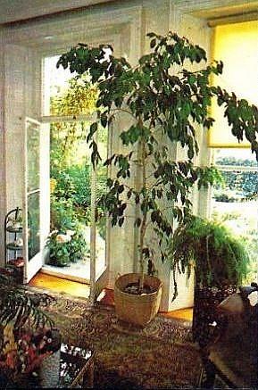 Pflanzen f r gro e r ume raum zimmerpflanzen for Pflanzen im raum